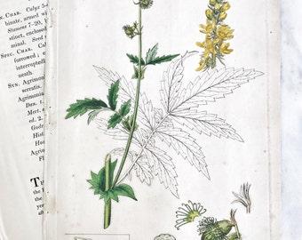 Hand Coloured 1864 Flower Botanical Print Book Plate Agrimony
