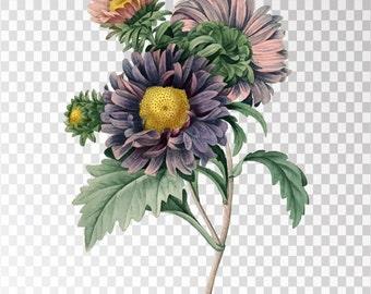 "Aster de Chine Art Flower - 16""x20"" Transparent Background Clipart PNG and JPG Illustration Instant Download"