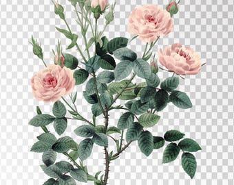 """Rosier Pompon Clip Art Flower - 16""""x20"""" Transparent Background Clipart PNG and JPG Illustration Instant Download"""
