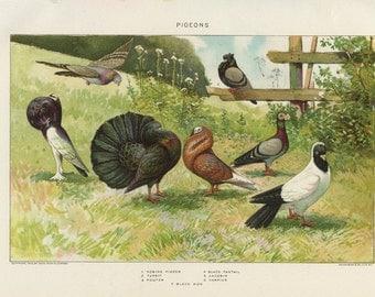 Vintage 1907 Book Plate — Pigeons