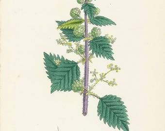 Fine Antique Lithography by John SOWERBY, URTICA PILULIFERA, Roman Nettle, 1859 Antique Lithography, Hand-colored