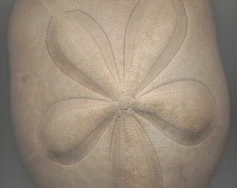 Sand Dollar, designs in nature