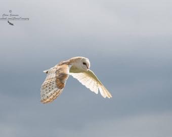 Barn Owl, Bird of Prey, Photography, Bird Photography, Limited Edition,  Fine Art Print, Wall Art, Nature Photography, Animal Photography