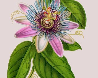 antique french botanical illustration passiflora passion flower digital download
