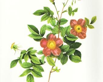 Alpine Briar French Rose art print vintage antique wall art pink flower art print Victorian art print antique rose art rose print prints 96