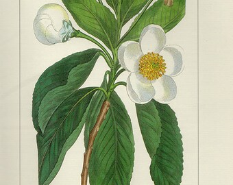 Vintage GORDONIA LASIANTHUS Botanical Print Antique Flowers 51 plant print botanical lithograph print bookplate wall art print flower plant