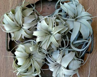 Small Xerographica Air Plant / Queen of air plant
