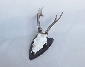 70s Vintage Deer Roebuck Antlers and Skull Mounted on Wooden Shield Plaque