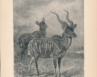 1902 Kudu Antique Print
