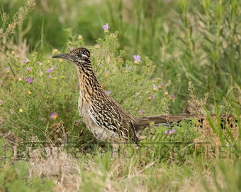 Southwest Spring Roadrunner Photo Print