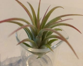 ON SALE - Blushing AirPlant in Glass Beaker - With Fast Shipping