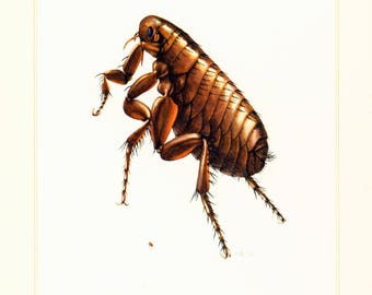 1960 Vintage Fleas Print. Fleas illustration. Parasite Print. Entomology. Natural History. Science.