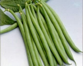 Haricot Verts Petite Filet- Green Bean Seeds- 30+