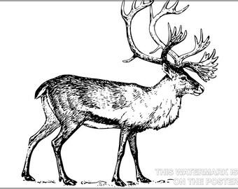 16x24 Poster; Caribou In Alaska Reindeer