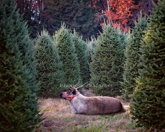 Real Christmas Tree Sale