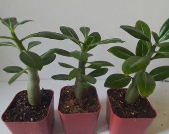 Desert rose plants, Three cute adenium seedlings, blooms Red & black  flowers
