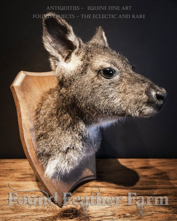 Rare Vintage Taxidermy of an Australian Wallaby