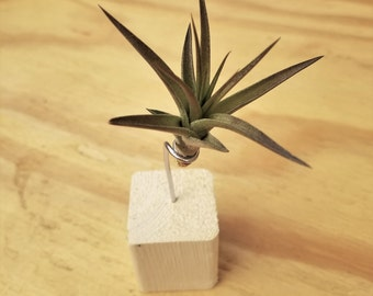 Air Plant Blocks - LIVING HOUSEPLANT ART - 3 pack - For Any Home or Office! Great Gift Idea!