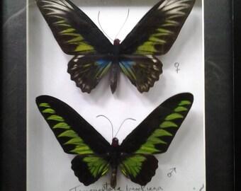 "Trogonoptera brookiana Pair (Male & Female ) - Malaysia - Rajah Brooke's Birdwing ( 11X9"" frame )"