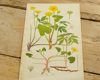 Vintage antique botanical illustration H. Original book plate.Wild plants.Color illustrations flowers prints.Wall decor.Yellow green