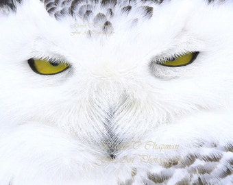 Eyes of a Snowy Owl