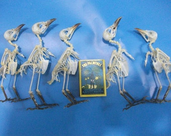 Taxidermy real bird skeleton Yellow vented bulbul lots 5 pcs