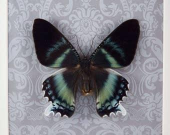 Alcides zodiacus - real framed moth No. 14