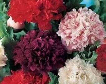 Peony Poppy Double Mix Flower Seeds/Papaver Paeoniflorum/Annual   85+