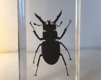 Inclusion insect-Vintage - beetle
