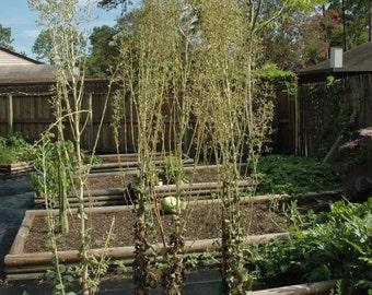 Medicinal Seeds, Organic Seeds, Wild Lettuce, Lactuca Virosa, Seed Packs,50 Seeds per pack, GMO Free