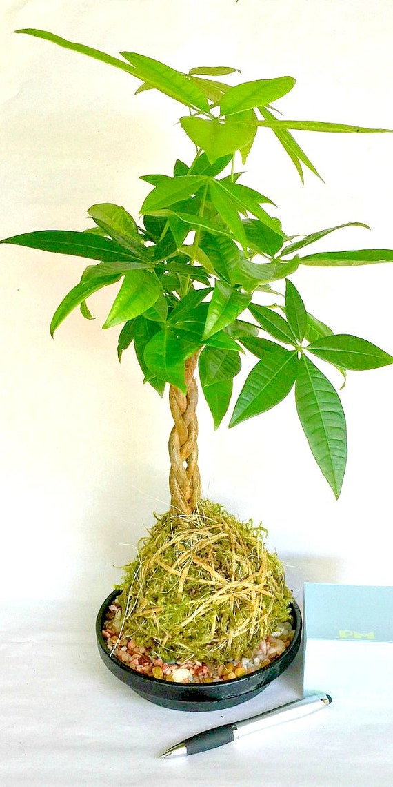 Money Plant Decoration In Living Room: Kokedama Plant, Money Tree, Home Decor, Indoor Plant, Gift