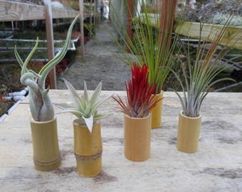 Bamboo wood Tillandsia air plant stand