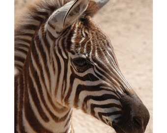 Zebra, Wall Art, Wildlife Art