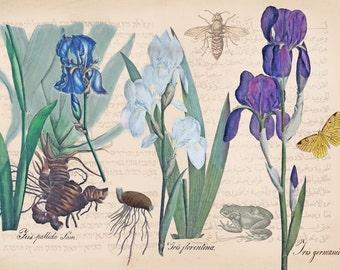 Iris art, vintage flower print, herbarium wall art, garden art, vintage herbarium, plants and animals, vintage printable wall art