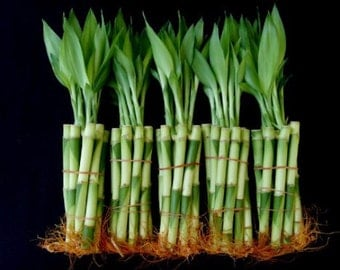50 Stalks of 6 Inches Straight Lucky Bamboo (FREE SHIPPING)