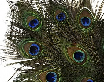Natural Peacock Feathers Packaged 12 & 25 pc/pkgs