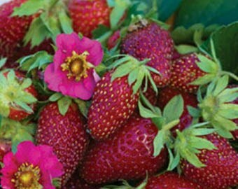 Tristan INDOOR strawberries!  Self pollinated pink flowers! Grow your own strawberries inside! Live plant