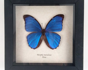 Real butterfly framed - Morpho menelaus