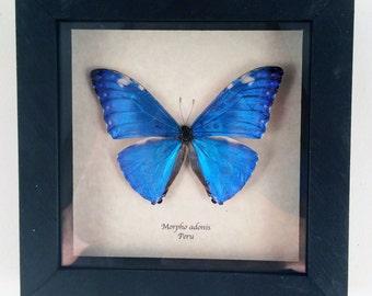 Real butterfly framed - Morpho adonis