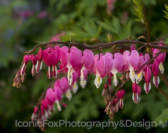 Instant Digital Download Printable Fine Art Photography Bleeding Hearts 8x10