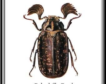 Beetle Print, Polyphilla Beetle print, Insect art, Insect Print, Beetle art, Vintage inspired, Encyclopedia Print, Unusual print, art