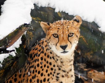 Arnhem Cheeta in the snow 2