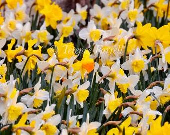 Lonely daffodil