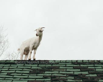 Goat Photograph, Farm Animal Photography, Goat on Roof, Farm Scene, Rustic Home Decor