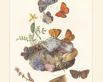 Vintage lithograph of scarce copper, ripart's anomalous blue, adonis blue, large blue butterflies from 1956