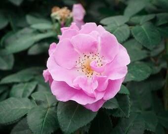 "Lilac Rose - Photo Print 6x4"""