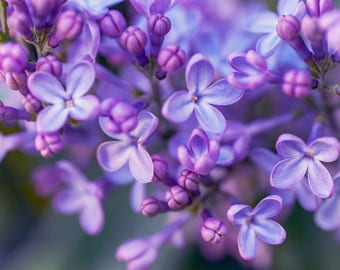 Lilac Dream.  Spring Blossoms, Floral Decor, Wall Art, Home Decor, Digital Download, Flower Photography