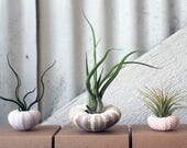 for Randi: mixed trio // air plant sea urchins // by robincharlotte