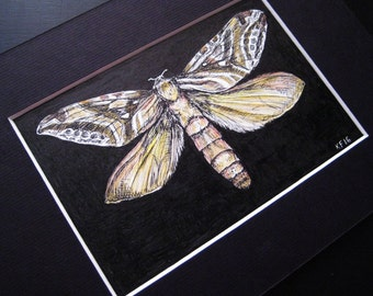 Ghost Moth Illustration