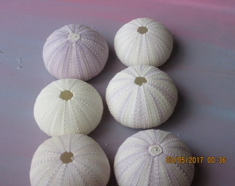 6 Natural Sea Urchins  Shell Crafting  Purple and White